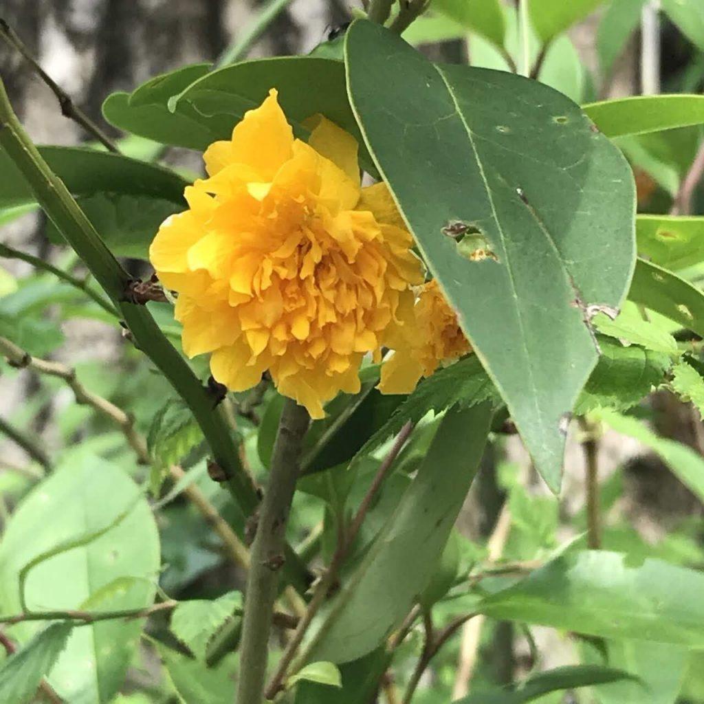 松尾大社のヤマブキの花